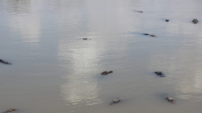 Alligators waiting for an easy meal at the Davis Pond diversion in Ama.