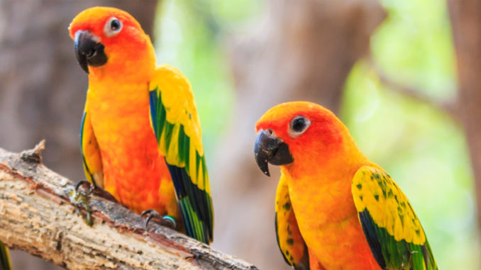 Sun conure birds are very sought after pets for how colorful and affectionate they are.